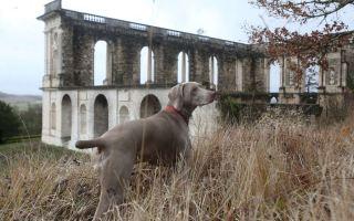 Les cheins de garde du château de la Mercerie avec Gaya, la chienne de Didier Jobit. Les chiens de garde du château de la Mercerie. Quentin Petit